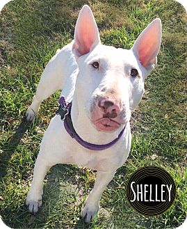 Bull Terrier Dog for adoption in Lake Worth, Florida - Shelley
