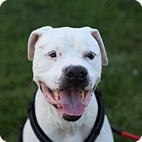 American Bulldog Dog for adoption in St. Charles, Missouri - Buddy