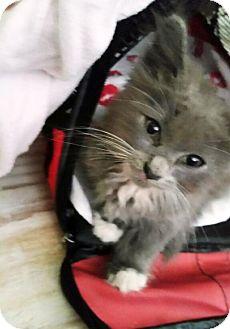Domestic Longhair Kitten for adoption in DeLand, Florida - KITTEN-FLUFFY - Because I am