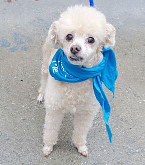 Poodle (Miniature) Dog for adoption in Plainview, New York - Tyson