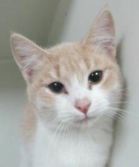 Domestic Shorthair/Domestic Shorthair Mix Cat for adoption in Robinson, Illinois - crush