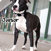 Pit Bull Terrier Mix Dog for adoption in Newport, Kentucky - Junior