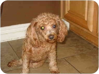 Toy Poodle/Tea Cup Poodle Mix Dog for adoption in Vista, California - Molly