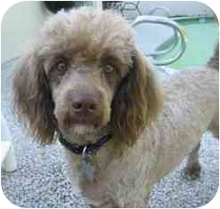 Poodle (Miniature)/Dachshund Mix Puppy for adoption in Melbourne, Florida - MORE JOY (MOJO)
