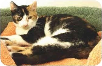 Domestic Shorthair Kitten for adoption in San Clemente, California - CAMI