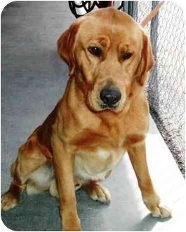 Labrador Retriever Mix Dog for adoption in Cumming, Georgia - Cooper