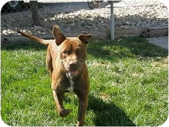 American Pit Bull Terrier Dog for adoption in Meridian, Idaho - Bruno
