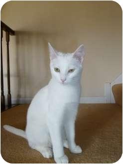 Domestic Shorthair Kitten for adoption in Naperville, Illinois - Camillia -$75.00