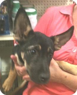 German Shepherd Dog Mix Puppy for adoption in Schertz, Texas - Starlet