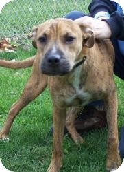 Boxer/Labrador Retriever Mix Dog for adoption in Sidney, Ohio - Chauncey