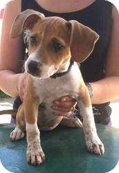Boston Terrier/Beagle Mix Puppy for adoption in Minneapolis, Minnesota - Amy