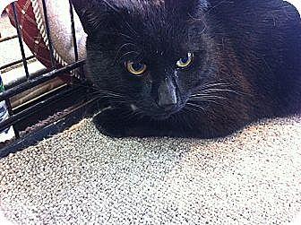 Domestic Shorthair Cat for adoption in Toronto, Ontario - Jojo