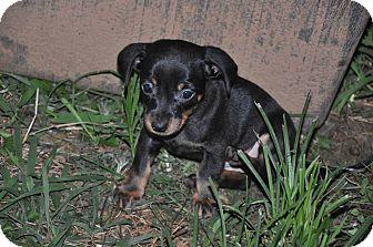 Dachshund Puppy for adoption in Newark, Delaware - Dakota