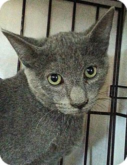 Polydactyl/Hemingway Cat for adoption in Redding, California - Ash