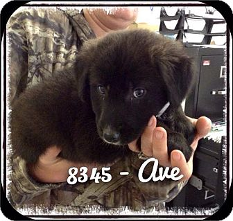 Labrador Retriever/Shepherd (Unknown Type) Mix Puppy for adoption in Dillon, South Carolina - Ave