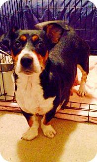 Beagle/Corgi Mix Dog for adoption in Philadelphia, Pennsylvania - Madison