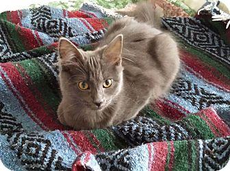Domestic Mediumhair Kitten for adoption in Centerton, Arkansas - Samantha