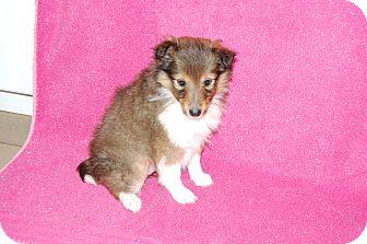 Sheltie, Shetland Sheepdog Puppy for adoption in Allentown, New Jersey - B.B