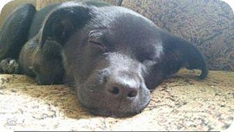 Labrador Retriever/German Shepherd Dog Mix Puppy for adoption in Elkridge, Maryland - Hera