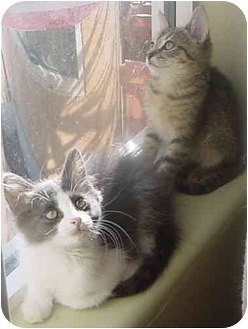 Domestic Mediumhair Kitten for adoption in San Diego, California - Kopa & Kissy