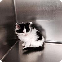 Adopt A Pet :: Raylan - McDonough, GA
