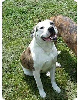 Australian Shepherd/Labrador Retriever Mix Dog for adoption in Hampton, Virginia - Noble