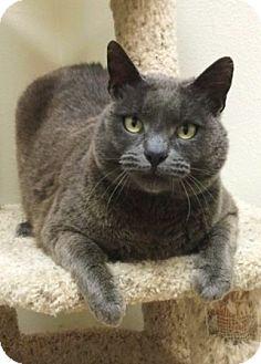Domestic Shorthair Cat for adoption in Dublin, California - Ranger