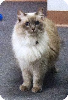 Ragdoll Cat for adoption in Lake Elsinore, California - Layla