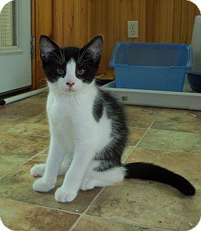 Domestic Shorthair Kitten for adoption in Richmond, Virginia - Marbles