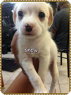 Maltese/Poodle (Miniature) Mix Puppy for adoption in Rosamond, California - Snow