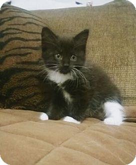 Domestic Mediumhair Kitten for adoption in Plantsville, Connecticut - Cookie