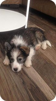 Husky Mix Puppy for adoption in Woodstock, Ontario - Megan