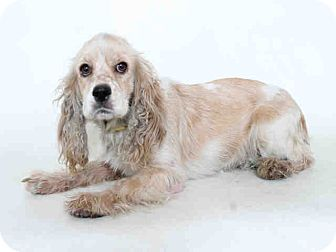 Cocker Spaniel Dog for adoption in Santa Barbara, California - Mia