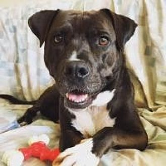 American Staffordshire Terrier/Labrador Retriever Mix Dog for adoption in Manchester, Connecticut - Lucy