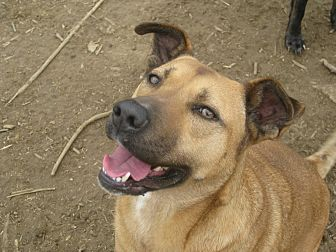 Boxer/Shepherd (Unknown Type) Mix Dog for adoption in Portland, Maine - Patty