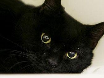 Domestic Shorthair Cat for adoption in Herndon, Virginia - Dena