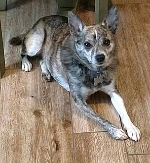 Chihuahua Mix Dog for adoption in Delaware, Ohio - Skid