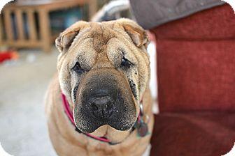 Shar Pei Mix Dog for adoption in Durham, North Carolina - Kim