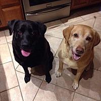 Labrador Retriever Mix Dog for adoption in cleveland, Ohio - Bella