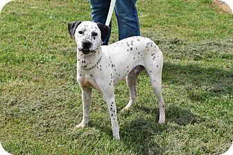 Dalmatian Mix Dog for adoption in North Judson, Indiana - Pongo