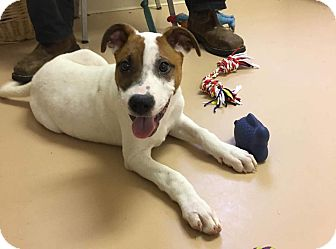 Jack Russell Terrier/Labradoodle Mix Puppy for adoption in Cincinatti, Ohio - Oliver