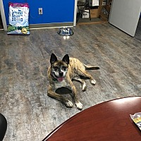 Boxer/Dutch Shepherd Mix Dog for adoption in Avon, Ohio - Truman