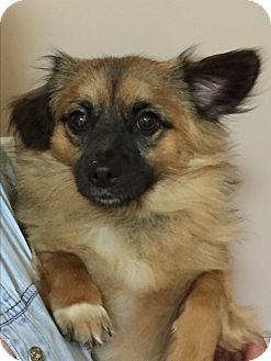 Pomeranian Mix Dog for adoption in Mt Sterling, Kentucky - Foxy