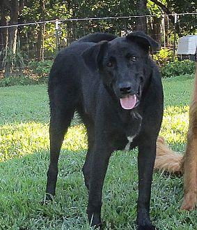 Labrador Retriever/Australian Cattle Dog Mix Dog for adoption in Melbourne, Arkansas - Milo