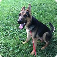 German Shepherd Dog Puppy for adoption in Spring Valley, New York - Asher RBF