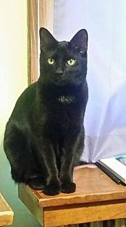 American Shorthair Cat for adoption in Lewistown, Pennsylvania - Jax