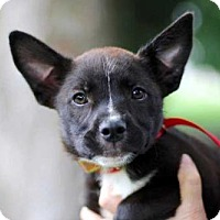 Australian Cattle Dog/French Bulldog Mix Puppy for adoption in Sussex, New Jersey - PUPPY BRIDGET