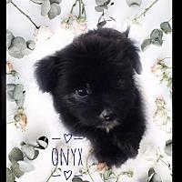 Adopt A Pet :: Onyx - Maitland, FL
