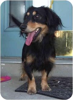 Dachshund Puppy for adoption in Provo, Utah - DUKAT