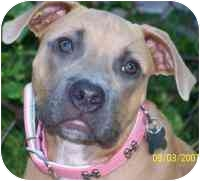 American Pit Bull Terrier Dog for adoption in Cary, Illinois - Maddy